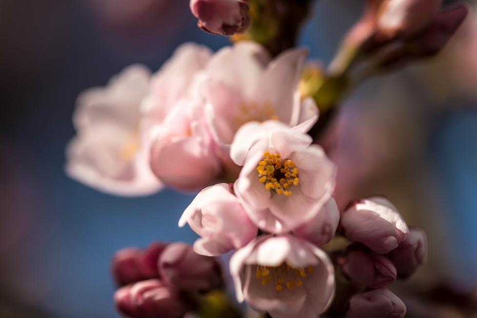 2016.03.25犀川の桜ほころぶ1