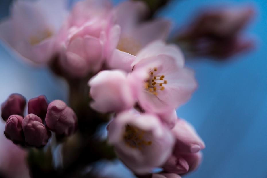 2016.03.25犀川の桜ほころぶ2