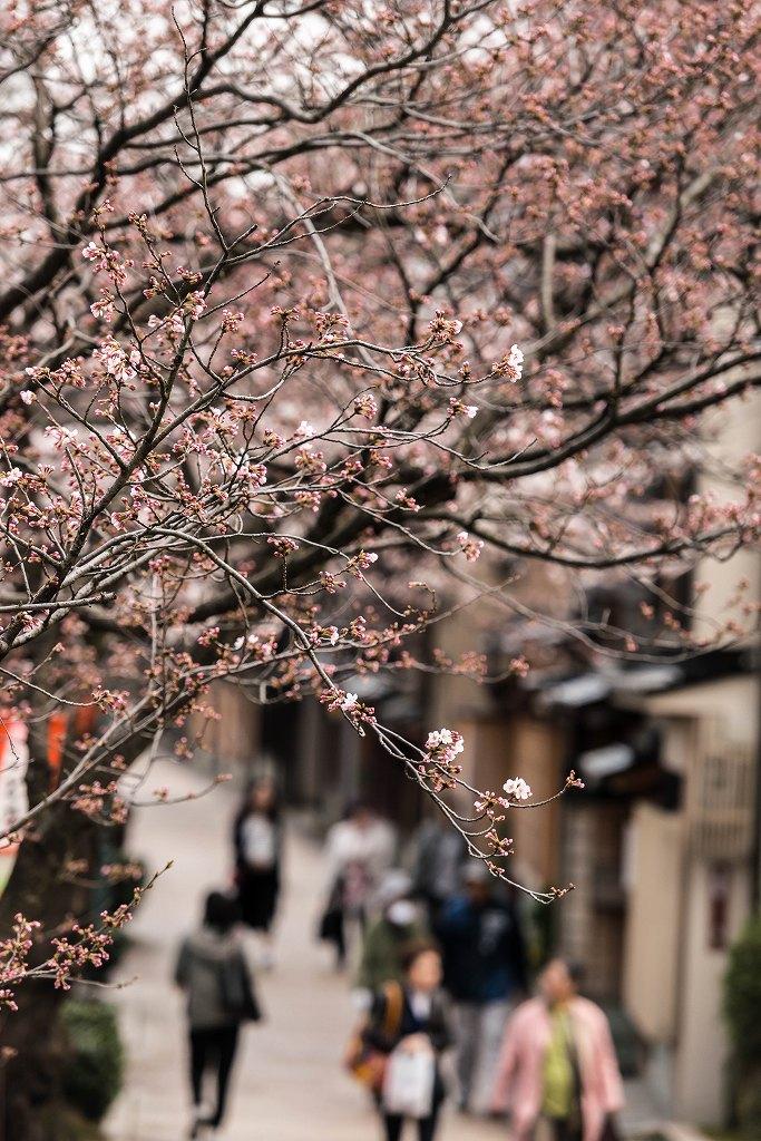 2016.03.31主計町の桜3