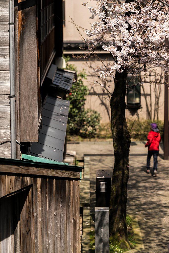 2016.03.31主計町の桜4