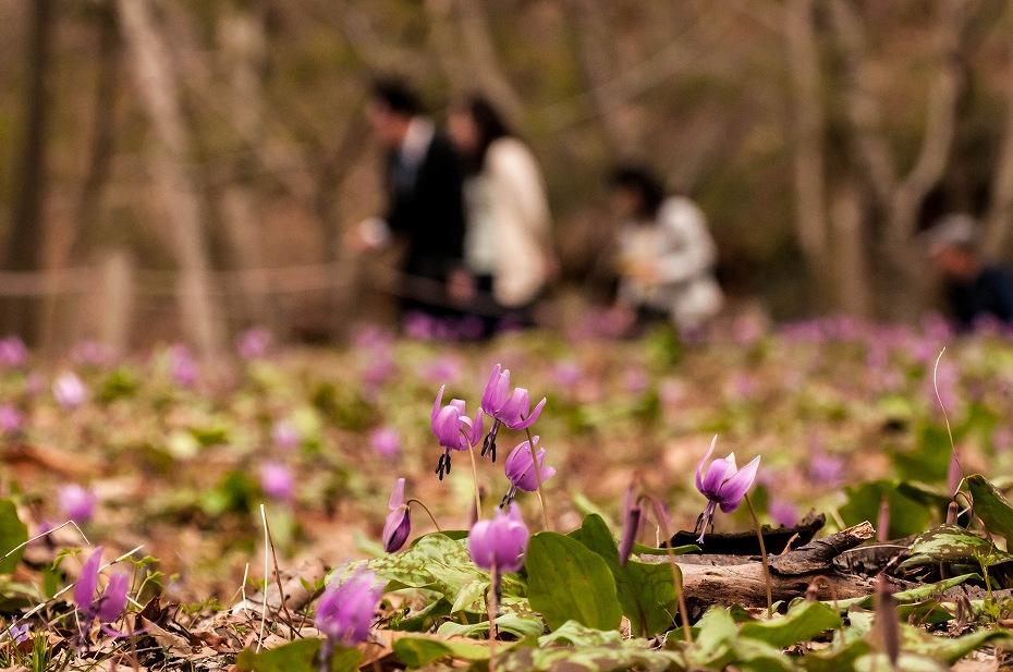 2016.04.01平栗のカタクリ5