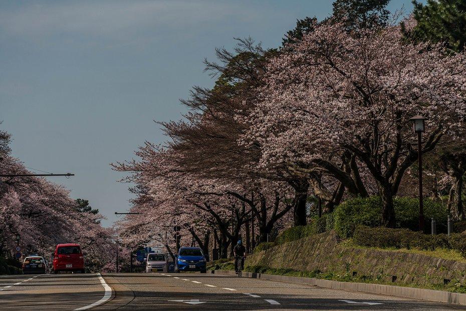 2016.04.02金沢城の桜7