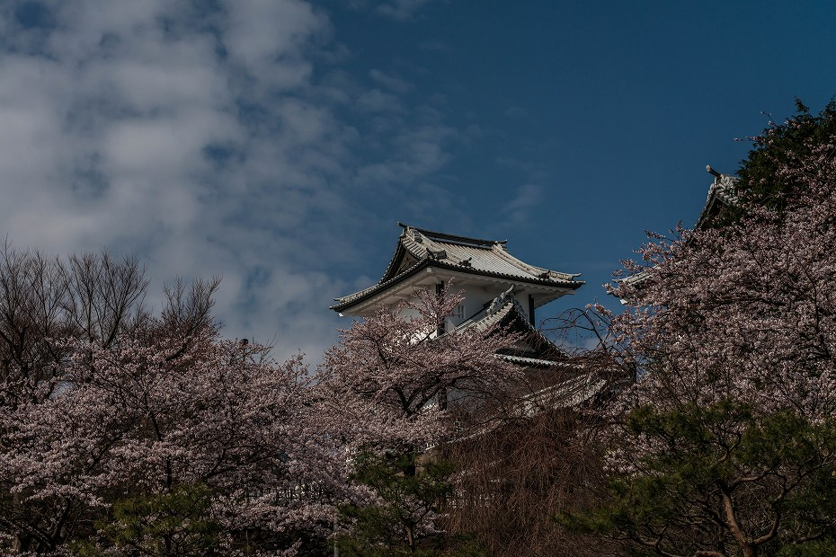 2016.04.02金沢城の桜6