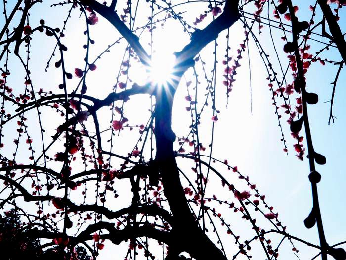 2016-2-11-1a大県神社の梅