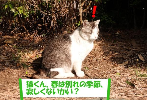「ねぇ猫くん、春は別れの季節、寂しくないかい?」