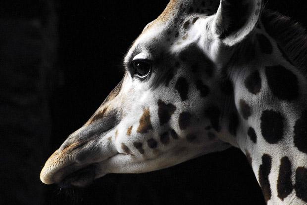 giraffe_1783237i.jpg