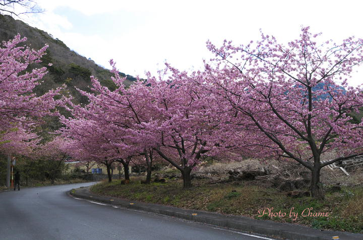 河津桜-195
