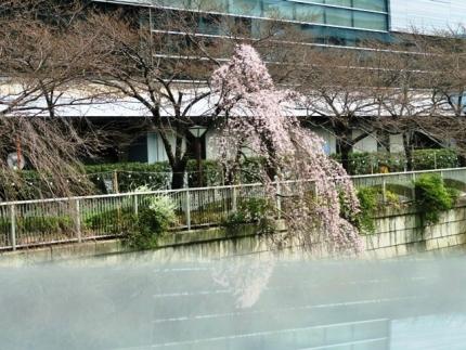16-3-23 桜花