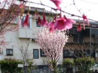 16-3-24 桜