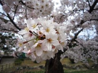 鶴舞公園2016春