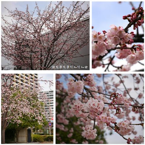 2016安行桜
