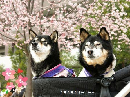 2016安行桜ちきりん☆