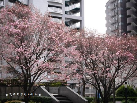 西口八重桜4/1