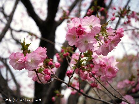西口八重桜4/1①