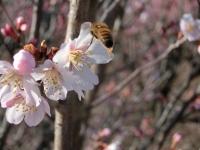 桜でお仕事中