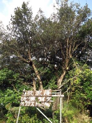160107-12=枕流庵下看板上の樹