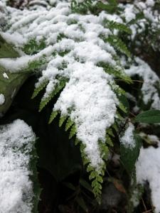 160125-109=積雪ウラジロ a枕流庵前