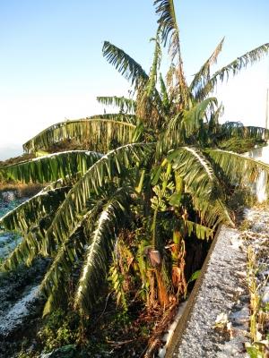 160125-316=朝の雪のバナナの樹