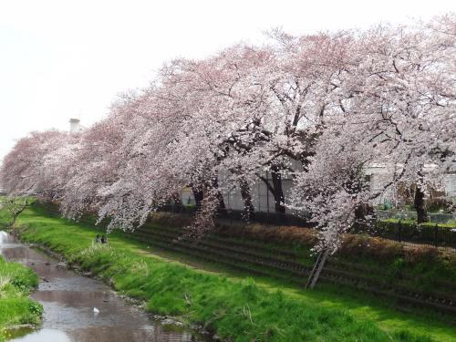 野川の桜3/31