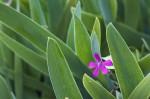 Silene-μεταξύ-λουλούδι-κρίνο-39914220160227