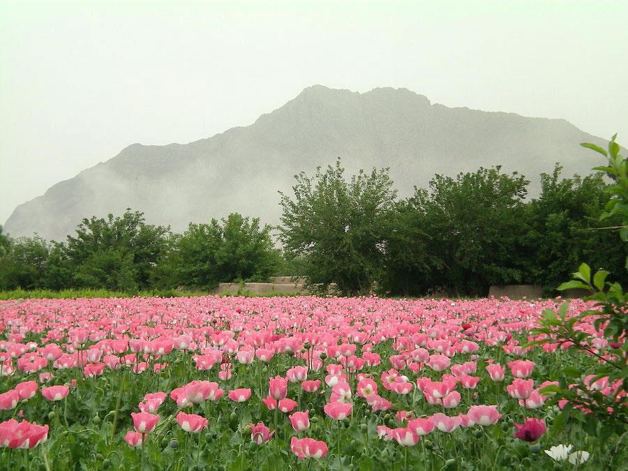 afghanistanpoppies.jpg