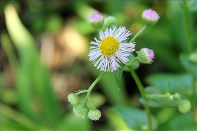 daisy-fleabane-wildflower20160310.jpg