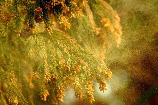 スギ花粉1