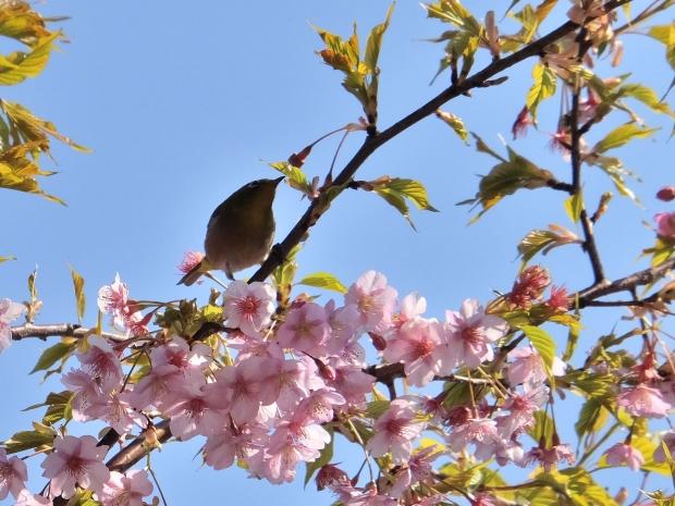 ①河津桜にメジロ