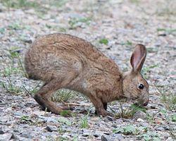 250px-Lepus_brachyurus_eating_grass[1]