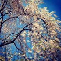 Photo Sakura 2