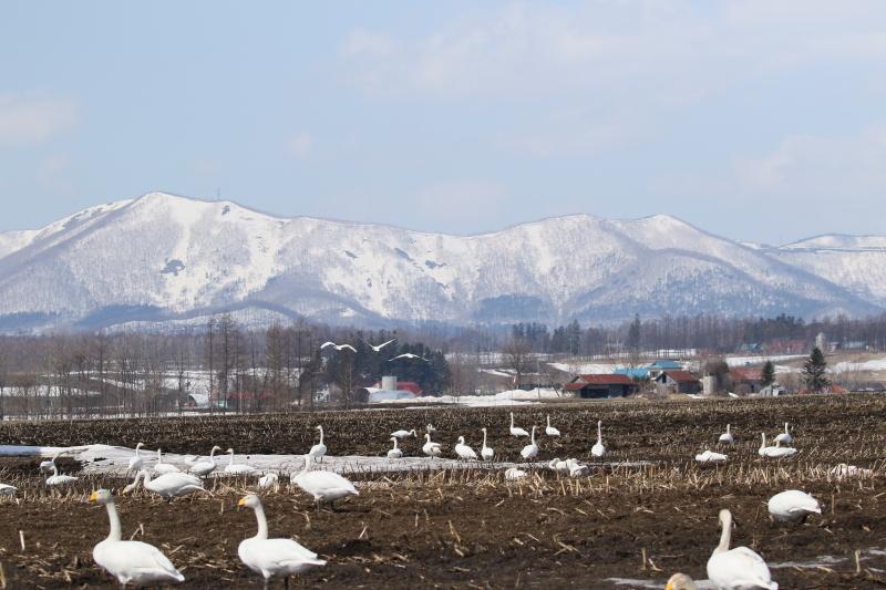 羽を休める白鳥