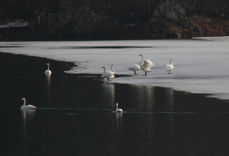 早朝の白鳥