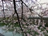 2016花見13