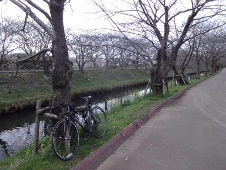 037桜の木