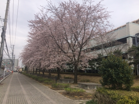 001付近の桜並木