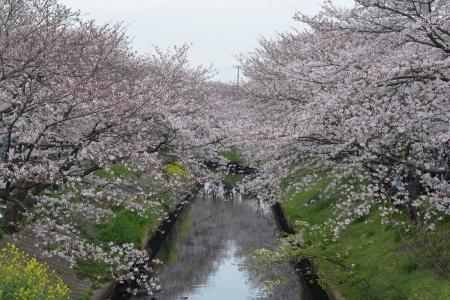 012海老川の桜