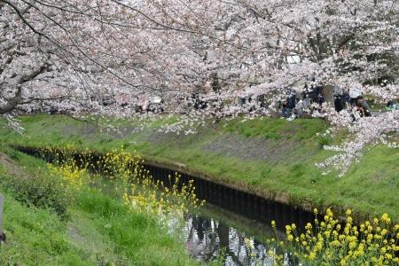 014桜と菜の花のコラボ