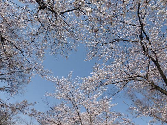 美しい景色が広がる桜の空