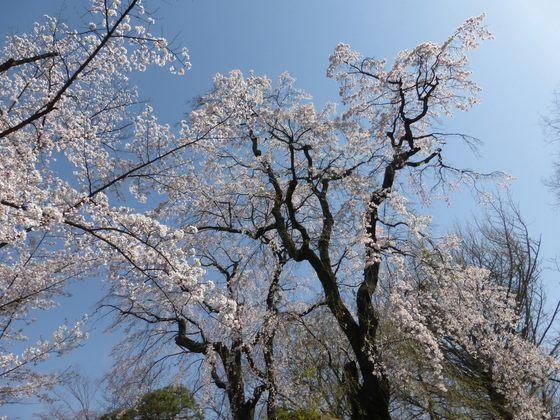 境内に咲く枝垂れ桜