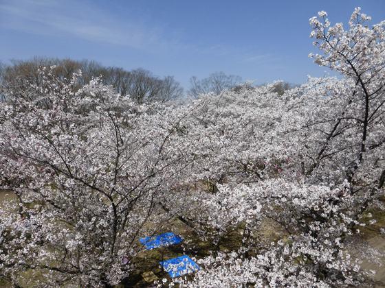 満開の桜の花びらに覆い尽くされる馬場