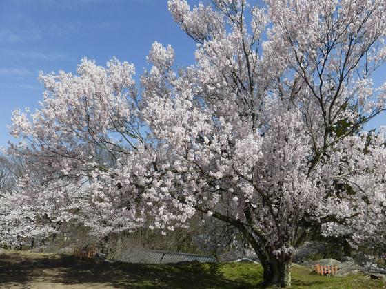 天守台に咲く桜の木