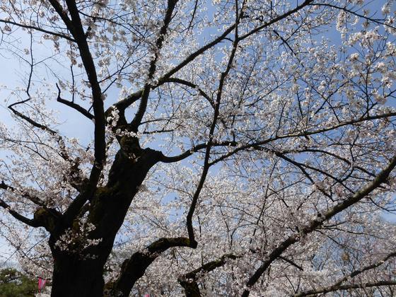 """桜開花状況""""観測の木""""も見事に満開"""