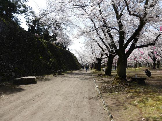 石垣と桜並木