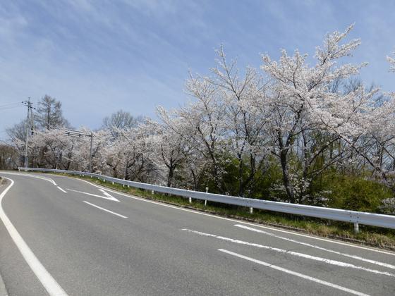 小諸大橋を渡った先の道に続く桜並木