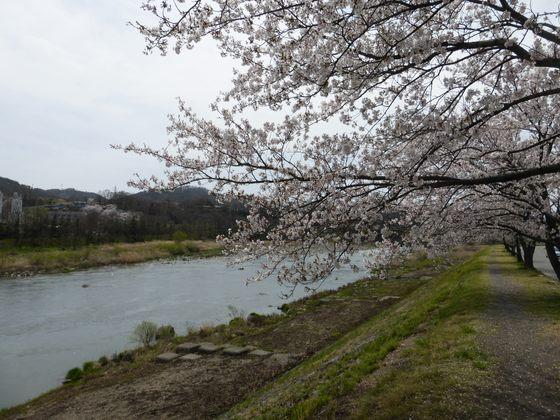 千曲川沿いに続く桜並木