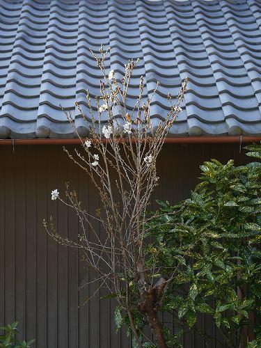160321sakura (5)