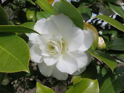 ツバキの花 (4)
