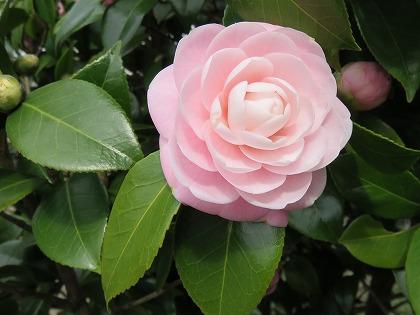 ツバキの花 (6)