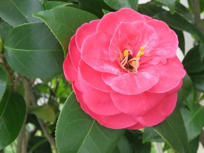 ツバキの花 (7)
