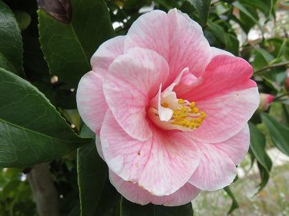 ツバキの花 (8)